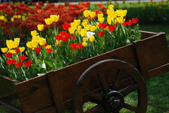 Tulips in a trolley. Some tulips in a wooden trolley Royalty Free Stock Images