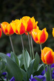Tulips. Tulip. Beautiful bouquet of tulips. colorful tulips. tulips in spring sun. tulip in the field Royalty Free Stock Image