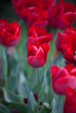 Tulips. Tulip. Beautiful bouquet of tulips. colorful tulips. tulips in spring sun. tulip in the field Stock Image
