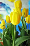 Tulips. The tulip is a Eurasian and North African genus of perennial, bulbous plants in the lily family. It is an herbaceous herb with showy flowers, of which royalty free stock images