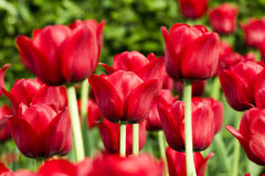 Tulips. The tulip is a Eurasian and North African genus of perennial, bulbous plants in the lily family. It is a herbaceous herb with showy flowers, of which royalty free stock photo