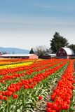 Tulips Tulip Farm with Barn. Vertical image of rows of orange and yellow tulips in a field leading up to a red barn. Vertical. Copy space royalty free stock image