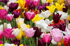 Tulips, Tulip Field, Blossomed Royalty Free Stock Image