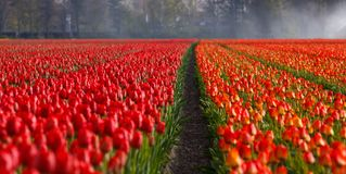 Tulips, Tulip, Field, Fields Stock Images