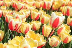 Tulips. Tulip field during Spring in Holland Royalty Free Stock Photos