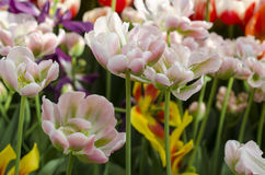Tulips. Tulip flowerbed. A very rare species in combined colors royalty free stock image
