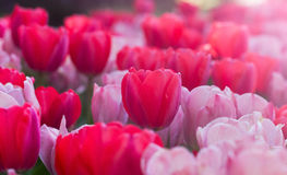 Tulips. A tulip garden in Nashville, TN Royalty Free Stock Photos
