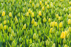 It is the tulips Royalty Free Stock Photography