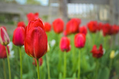 Tulips. Tulip near countryhouse (Kharkiv, Ukraine Stock Photo