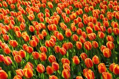 Tulips, Tulip, Orange, Red Royalty Free Stock Images