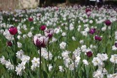 Tulips, Tulip Sea, Tulip Field Stock Photos