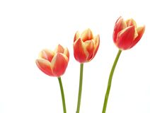 Tulips - tulipa gesneriana Stock Photo