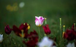 Tulips. Tulipa schrenkii. Chyornye Zemli Black Lands Nature Reserve, Kalmykia region, Russia Stock Photo