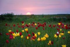 Tulips. Tulipa schrenkii. Chyornye Zemli Black Lands Nature Reserve, Kalmykia region, Russia Royalty Free Stock Images