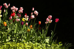 Tulips, two Stock Photos