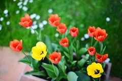Tulips. Two different types of tulips,red and yellow,on a flowers vase Stock Image