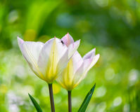 Tulips. Two tulips in the sun royalty free stock image