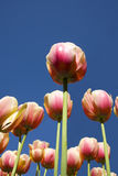 Tulips under the blue sky Stock Photography