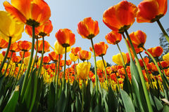 Tulips  under blue sky Royalty Free Stock Photos