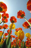 Tulips  under blue sky Royalty Free Stock Photo