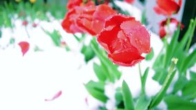 Tulips under the falling snow. Snow falls on the flowers stock video footage