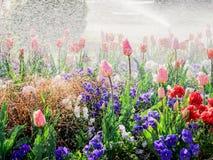 Tulips Under Rain In Park - Fresh Spring Stock Photo