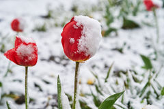 Tulips under the snow. Red beautiful tulips bloom in May snow snowfall Stock Photo