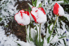 Tulips under the snow. Red beautiful tulips bloom in May snow snowfall Royalty Free Stock Photos
