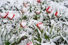 Tulips under the snow. Red beautiful tulips bloom in May snow snowfall Stock Images