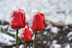 Tulips under the snow stock image