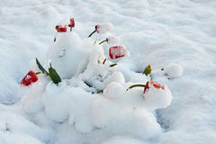 Tulips under the snow. Red beautiful tulips bloom in May snow snowfall Royalty Free Stock Image