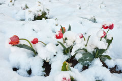 Tulips under the snow. Red beautiful tulips bloom in May snow snowfall Royalty Free Stock Photography