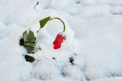 Tulips under the snow. Red beautiful tulip Bloom snow in May snowfall Stock Photo
