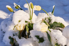 Tulips under the snow. Yellow Bloom tulip beautiful snow in May snowfall Royalty Free Stock Image