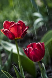 Tulips under The Spring Rain Stock Photos