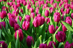 Tulips under sunshine Royalty Free Stock Image