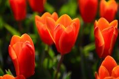 Tulips under Sunshine Stock Image
