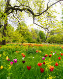 Tulips under a tree Stock Photography