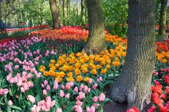 Tulips under the trees in spring. Colorful tulips under the trees on an april day in spring Stock Image