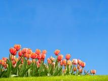 Tulips vívidos na mola Fotografia de Stock Royalty Free