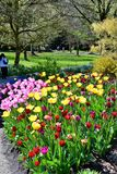 Tulips in the Van DuSen Gardens. Vancouver BC. royalty free stock photography