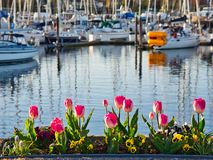 Tulips decorate the seaside walk in Sidney, Vancouver Island, British Columbia stock photos