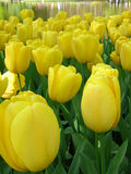 Tulips. The variety of tulips growing in the ground Royalty Free Stock Images
