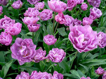 Tulips. The variety of tulips growing in the ground Stock Photos