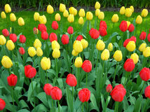 Tulips. The variety of tulips growing in the ground Royalty Free Stock Photography