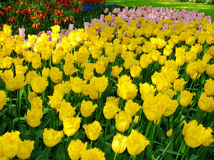 Tulips. The variety of tulips growing in the ground Stock Images
