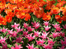 Tulips. The variety of tulips growing in the ground Royalty Free Stock Photos