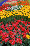 Tulips in various colors. Beds of tulips in various colors Royalty Free Stock Photos