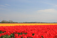 Tulips in various colors on a field Royalty Free Stock Photos