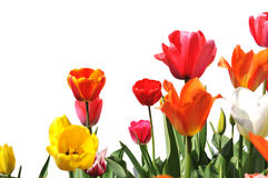 Tulips of various colors isolated on white Royalty Free Stock Photo
